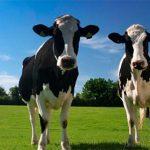 Tienes dos vacas, y con ellas explicas todo
